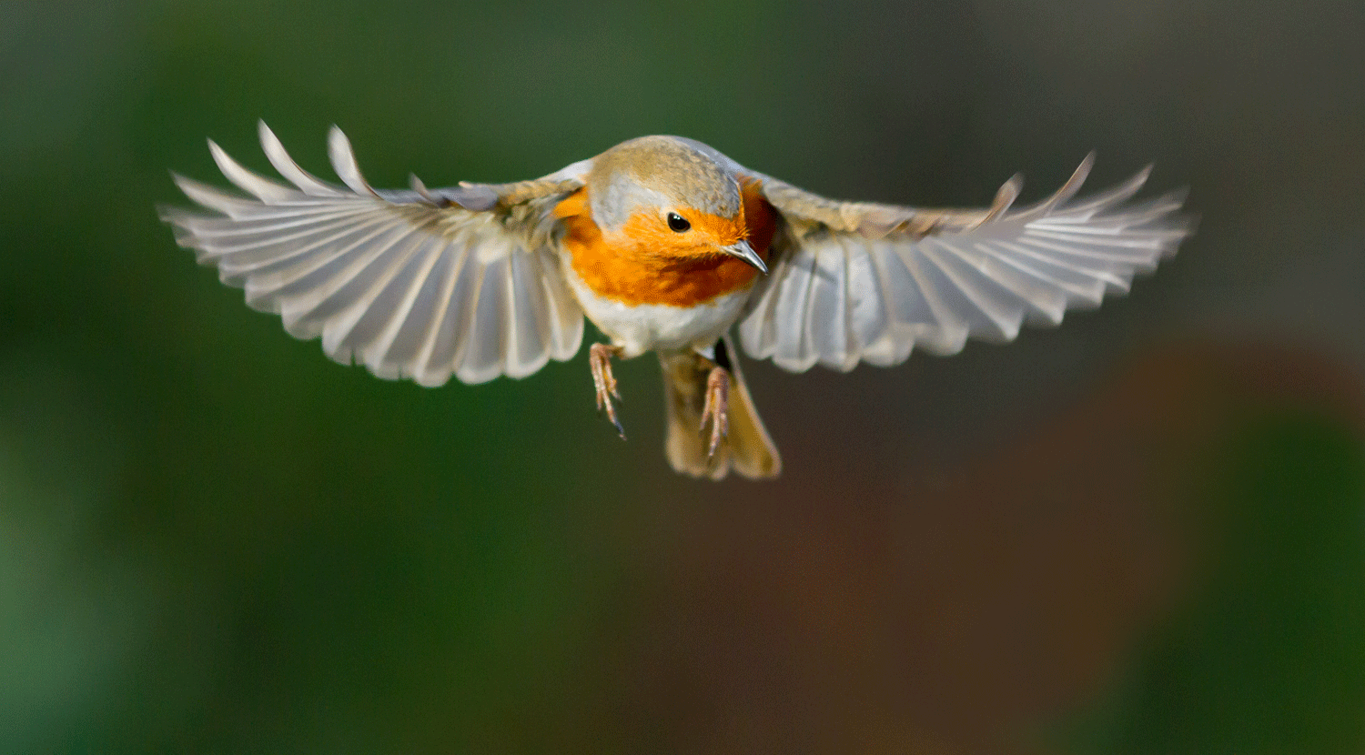 European Robins make use of quantum entanglement for navigation.  Photo: iStock.com/kart31