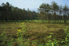 Raised marshland: home to many typical plants such as sundew, swamp cranberries  and cotton-grass