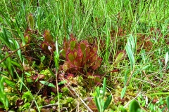 Sundew: The carnivorous sundew compensates for a lack of  nutrients in the marsh by digesting insects.