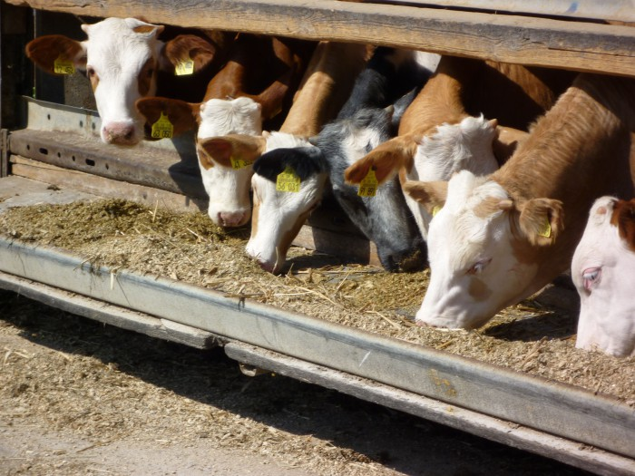 Cows eating corn silage. Any greenstuff that is chopped and dried for about one day can be stored in silage containers or bales. Photo: Franzfoto