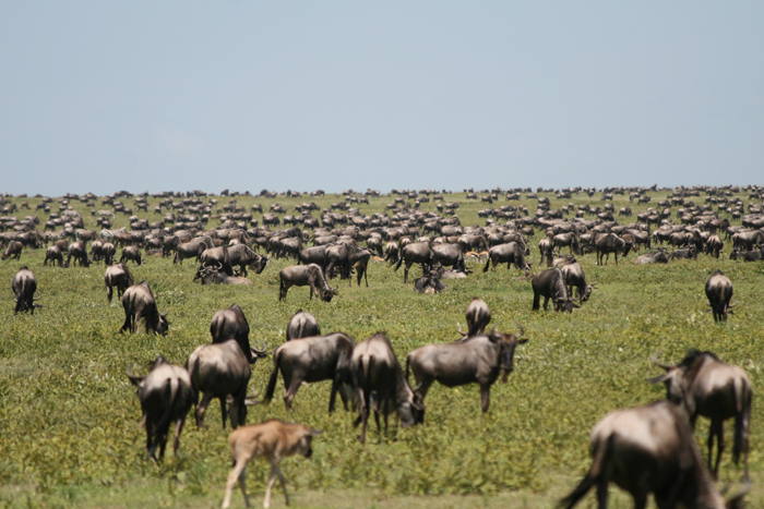 Like the wildebeests of the Serengeti, researchers may also start to look for greener pastures when the funding runs dry. Photo: Noodlefish (CC BY-NC-SA 2.0)