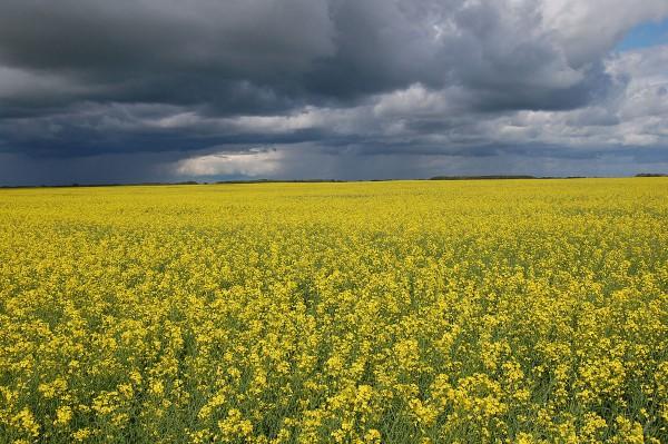"""Canola-Feld in Saskatchewan, Kanada. Canola ist eine säurearme, sogenannte """"Doppelnull""""-Rapssorte, das Saatgut ist als RoundupReady-Variante erhältlich. Photo: Nas2, public domain"""