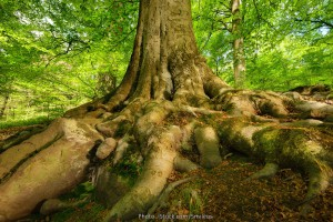 Mighty roots of a beech, Copyright: Smileus