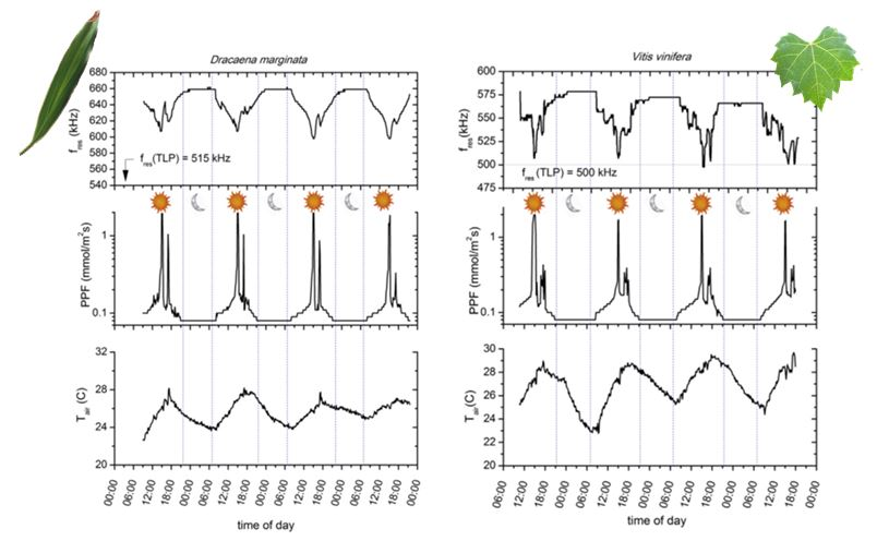 Evolution of the thickness resonant frequency of a Dracaena marginata and Vitis vinifera leaves over 3.5 days. Photosynthetic photon flux (PPF) and ambient temperature measurements are also shown.