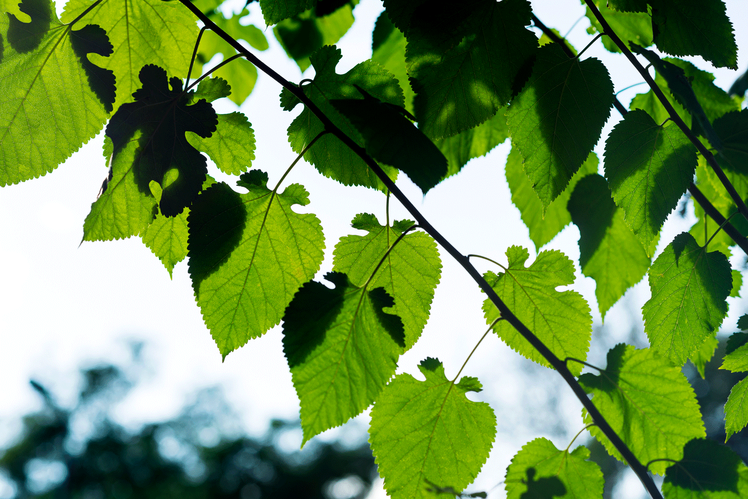 Quantum physics seemingly hold the secret to the remarkable efficiency of photosynthesis. Photo: iStock.com/EOPITZ