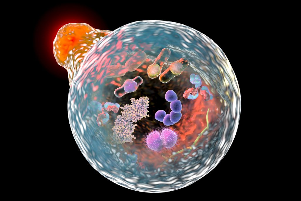 Illustration showing fusion of lysosome with autophagosome containing microbes and molecules