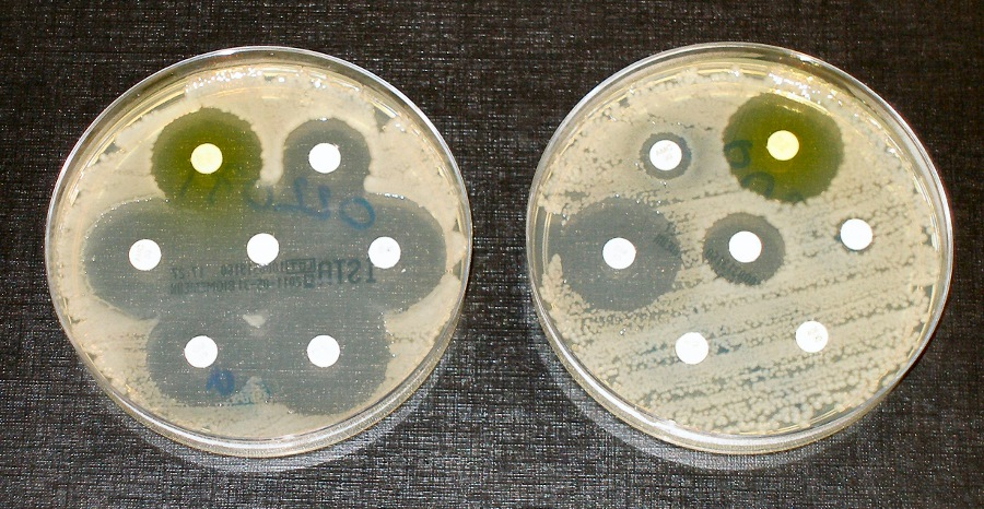 Antibiotic resistance tests: the bacteria in the culture on the left are sensitive to all seven antibiotics contained in the small white paper discs. The bacteria on the right are resistant to four of these seven antibiotics. Photo: Dr Graham Beards, 2011, CC BY-SA 4.0
