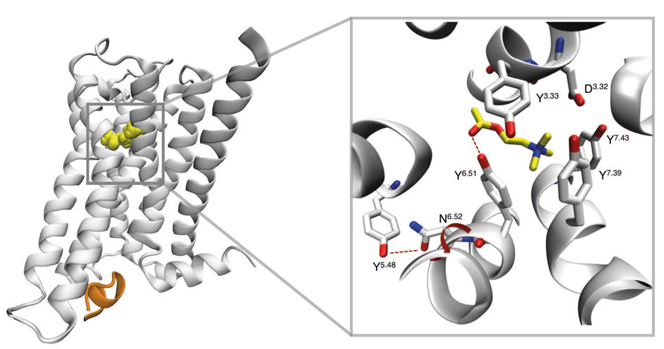 Structural details of an interaction between a GPCR, the muscarinic M3 receptor, and its endogenous ligand acetylcholine